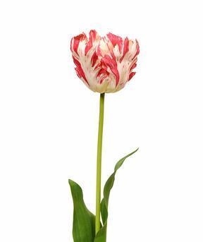Konstgjord blomma Tulpan röd-vit 70 cm