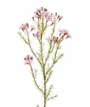 Konstgjord gren Chamelaucium uncinatum rosa 65 cm